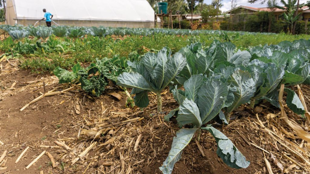 Cabbages with organic mulch around their bases