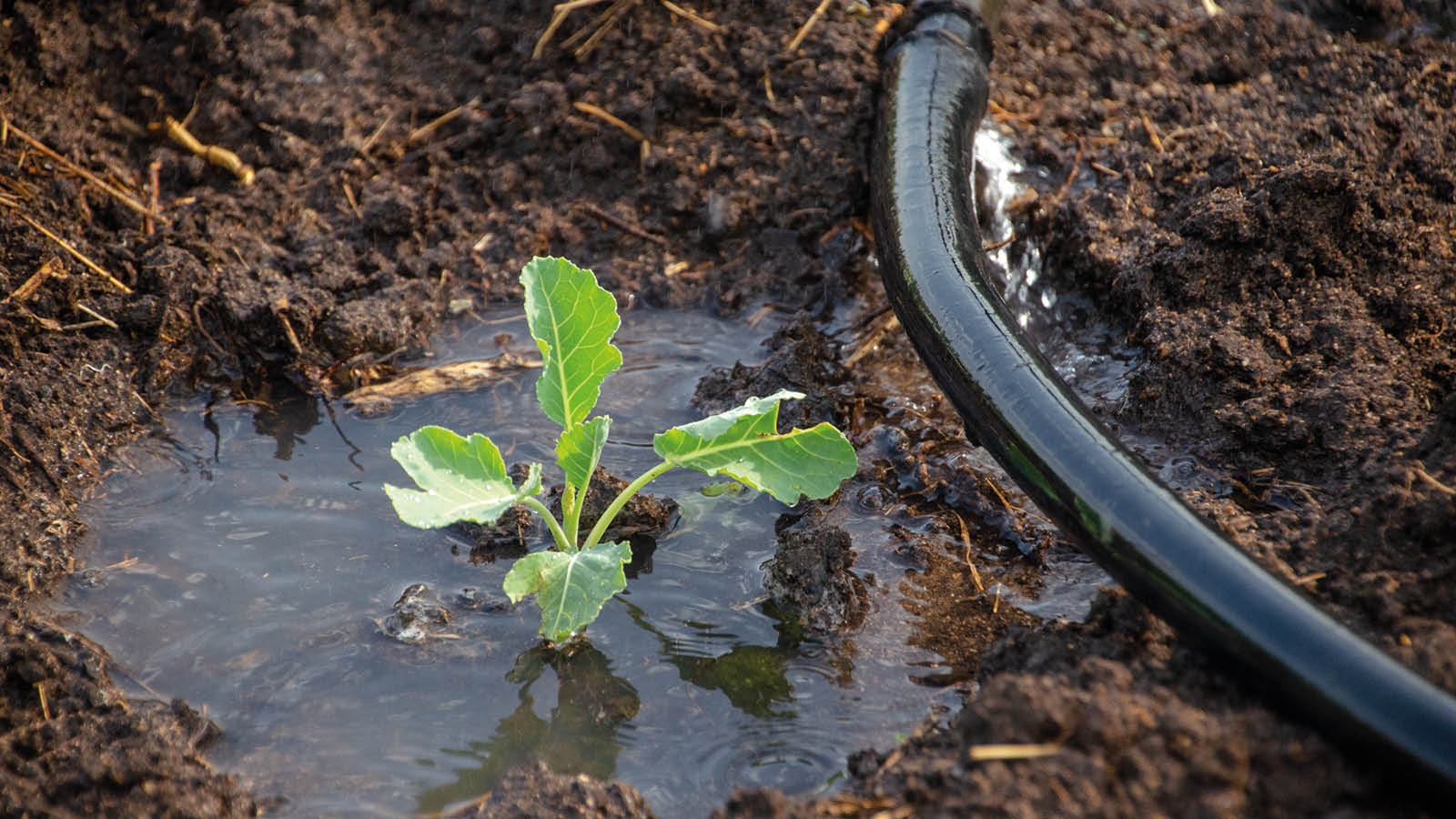 A small plant in a puddle of water leaking from a hosepipe