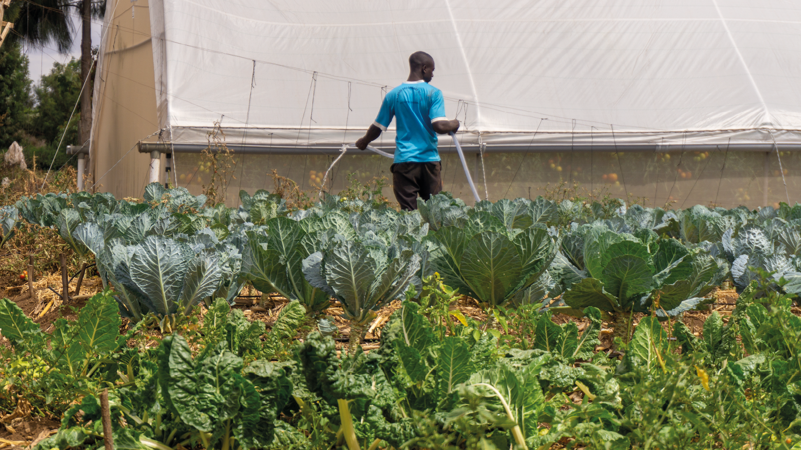 A farmer irrigating his land with rows of cabbages and a greenhouse